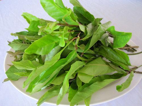 T.L Giang leaf / La Giang