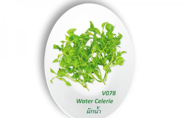 Water Celerie / ผักน้ำ