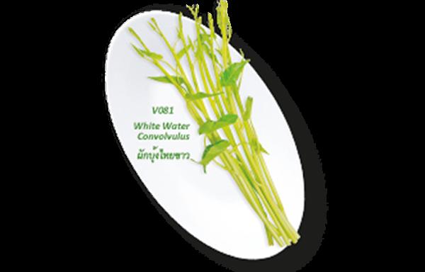White Water Convolvulus / ผักบุ้งไทยขาว