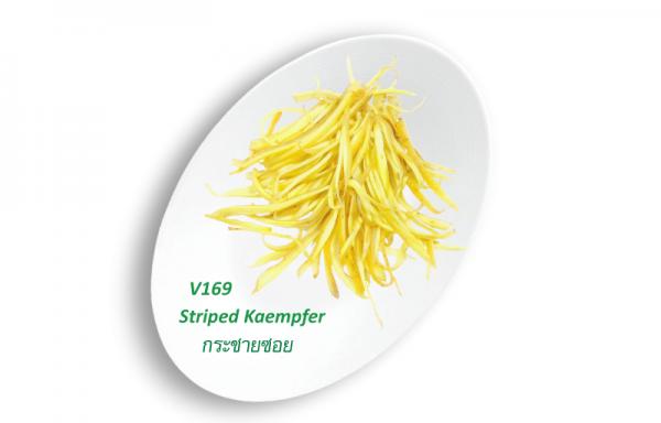 Striped Kaempfer / กระชายซอย